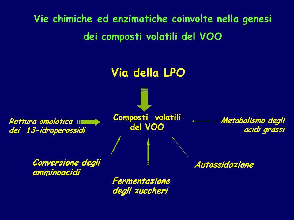 Composti volatili del VOO Via della LPO Metabolismo degli acidi grassi Conversione degli amminoacidi Fermentazione degli zuccheri Rottura omolotica dei 13-idroperossidi Autossidazione Vie chimiche ed enzimatiche coinvolte nella genesi dei composti volatili del VOO