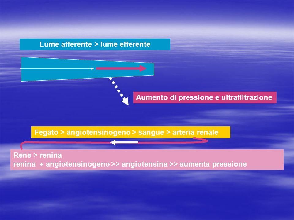 Lume afferente > lume efferente Aumento di pressione e ultrafiltrazione Fegato > angiotensinogeno > sangue > arteria renale Rene > renina renina + ang