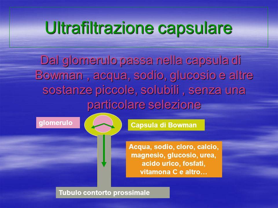 Ultrafiltrazione capsulare Dal glomerulo passa nella capsula di Bowman, acqua, sodio, glucosio e altre sostanze piccole, solubili, senza una particola