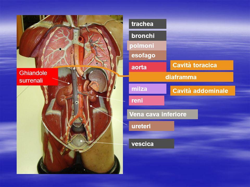 milza polmoni aorta esofago Vena cava inferiore bronchi trachea diaframma Cavità toracica Cavità addominale reni ureteri vescica Ghiandole surrenali