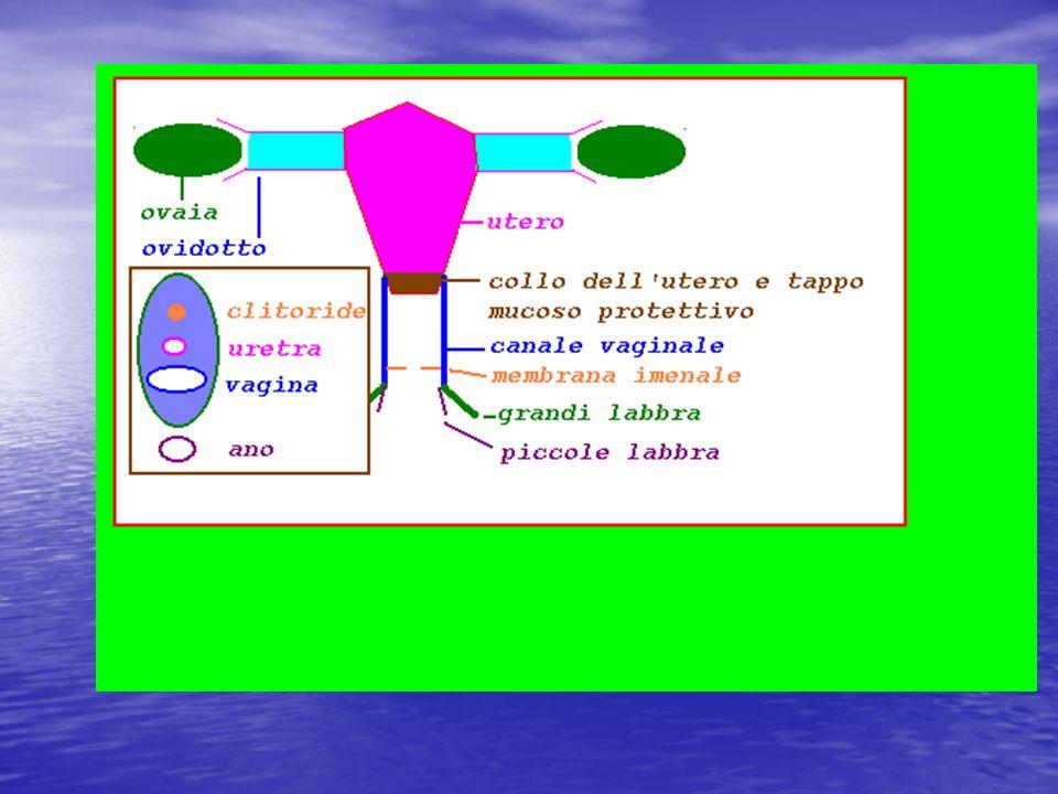 Alcuni effetti degli ormoni estrogeni e del progesterone Estrogeni: Stimolano, regolano,lo sviluppo dei caratteri sessuali primari e secondari ghiandole mammarie ciclo mestruale intervengono nel metabolismo in vario modo Progesterone: favorisce impianto delluovo fecondato nellutero sviluppo della placenta in caso di gravidanza inibizione di ovulazione-mestruazione durante la gravidanza sviluppo delle ghiandole mammarie e produzione del latte durante la gravidanza (in sinergia con ormone prolattina (lattagogo) LTH secreto da adenoipofisi