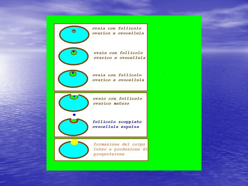 Struttura di ovaia capsula fibrosa-albuginea con epitelio cubico, ovarico, esterno zona periferica-corticale con follicoli ovarici in diverso stadio di sviluppo zona centrale,midollare, con vasi sanguigni e nervi+ cellule interstizialisecernenti corticale midollare Follicolo atresico albuginea Epitelio cubico Corpo luteo Follicolo di Graaf granulosa 0vocita