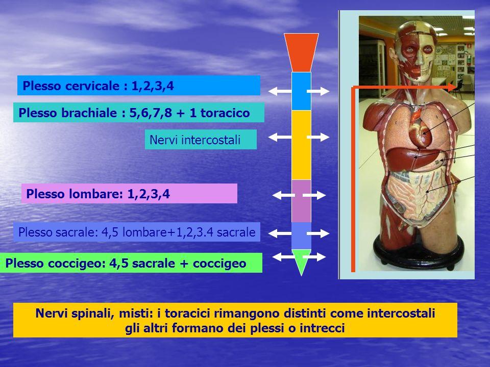 Nervi intercostali Plesso cervicale : 1,2,3,4 Plesso brachiale : 5,6,7,8 + 1 toracico Plesso lombare: 1,2,3,4 Plesso sacrale: 4,5 lombare+1,2,3.4 sacr