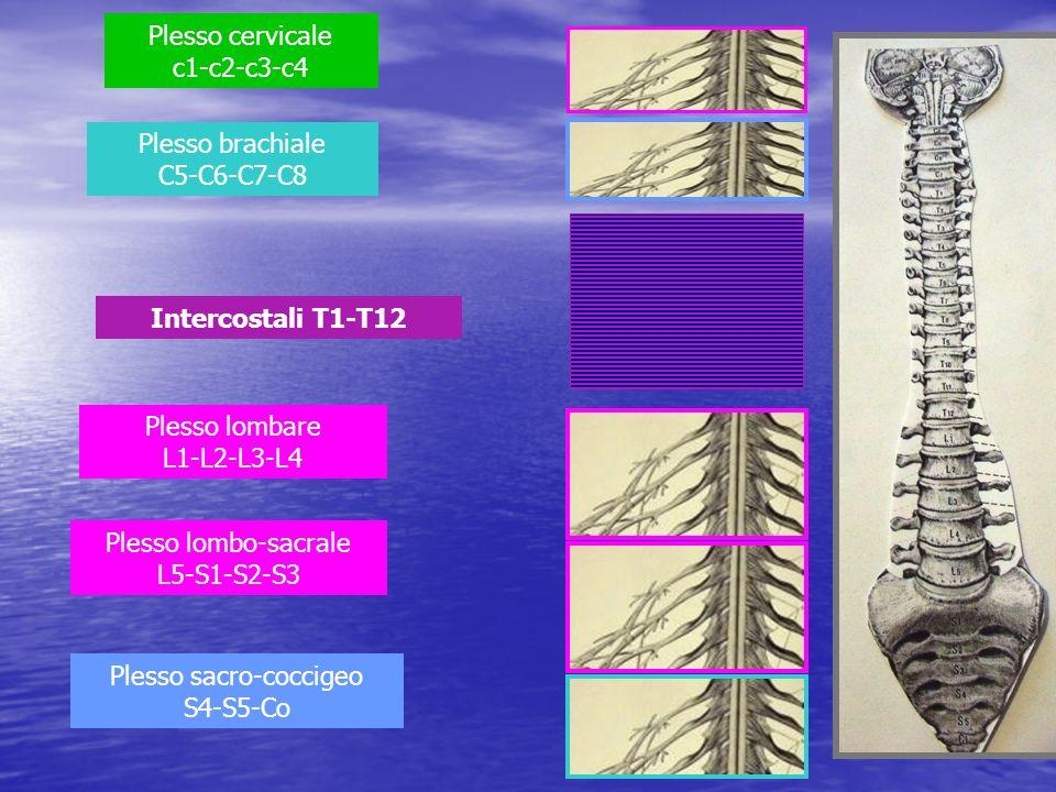 Plesso cervicale c1-c2-c3-c4 Plesso lombare L1-L2-L3-L4 Plesso brachiale C5-C6-C7-C8 Plesso lombo-sacrale L5-S1-S2-S3 Plesso sacro-coccigeo S4-S5-Co I