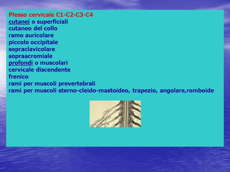 Plesso cervicale C1-C2-C3-C4 cutanei o superficiali cutaneo del collo ramo auricolare piccolo occipitale sopraclavicolare sopraacromiale profondi o mu