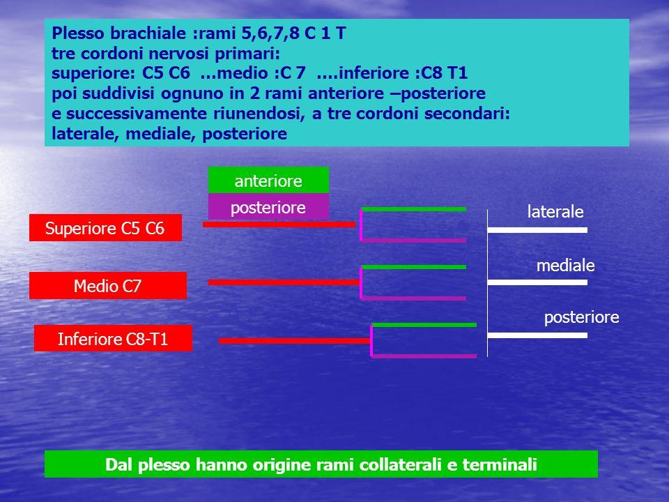 Plesso brachiale :rami 5,6,7,8 C 1 T tre cordoni nervosi primari: superiore: C5 C6 …medio :C 7 ….inferiore :C8 T1 poi suddivisi ognuno in 2 rami anter