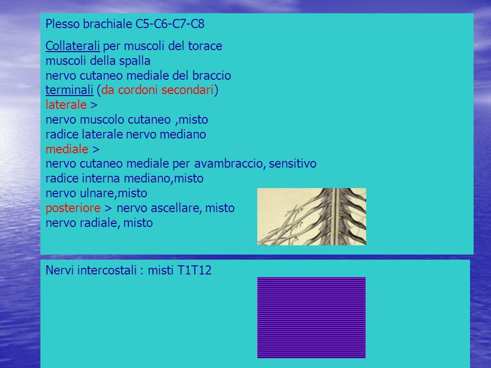 Plesso brachiale C5-C6-C7-C8 Collaterali per muscoli del torace muscoli della spalla nervo cutaneo mediale del braccio terminali (da cordoni secondari