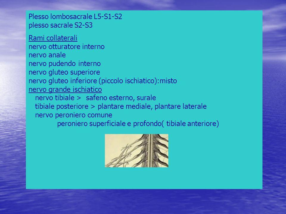Plesso lombosacrale L5-S1-S2 plesso sacrale S2-S3 Rami collaterali nervo otturatore interno nervo anale nervo pudendo interno nervo gluteo superiore n