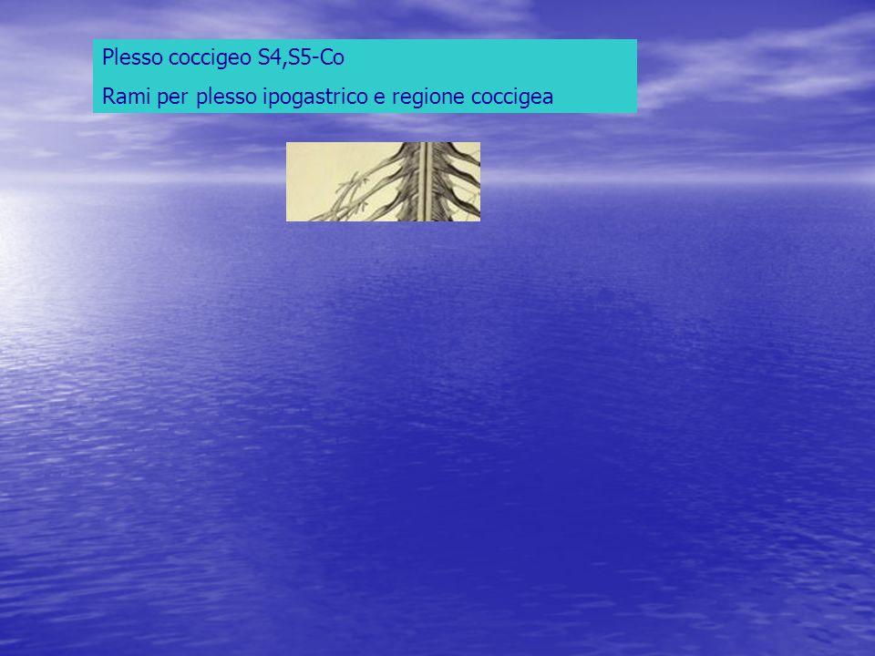 Plesso coccigeo S4,S5-Co Rami per plesso ipogastrico e regione coccigea