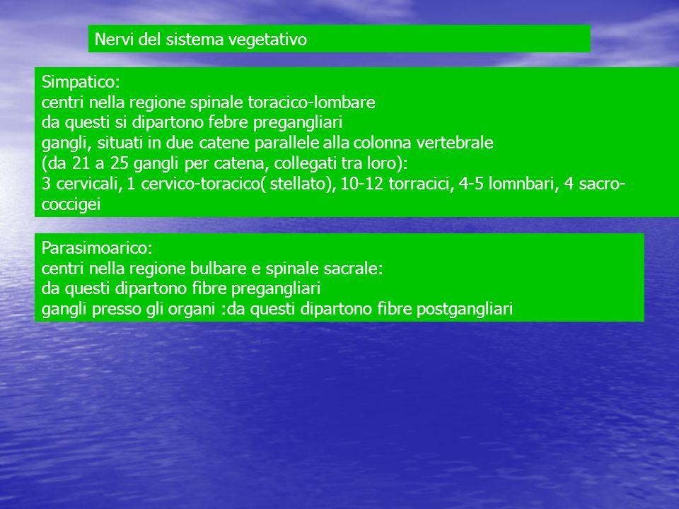 Nervi del sistema vegetativo Simpatico: centri nella regione spinale toracico-lombare da questi si dipartono febre pregangliari gangli, situati in due