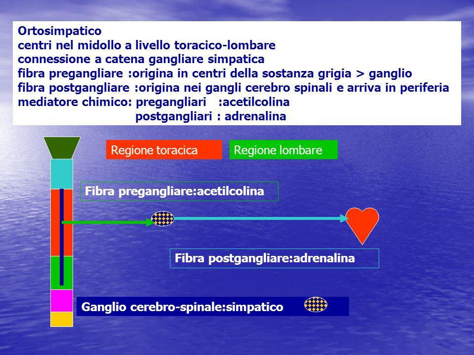 Ortosimpatico centri nel midollo a livello toracico-lombare connessione a catena gangliare simpatica fibra pregangliare :origina in centri della sosta