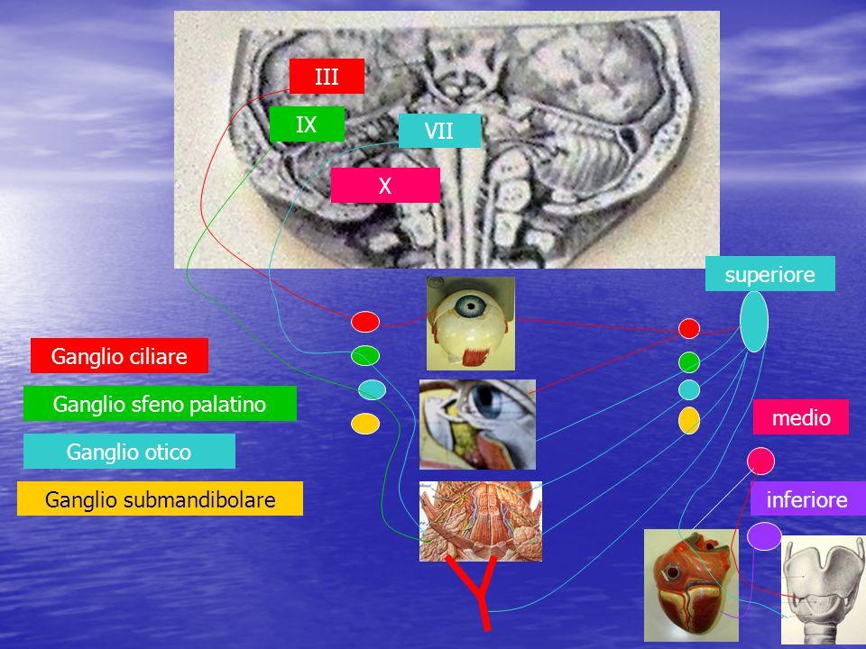 III IX VII X Ganglio ciliare Ganglio sfeno palatino Ganglio otico Ganglio submandibolare superiore medio inferiore