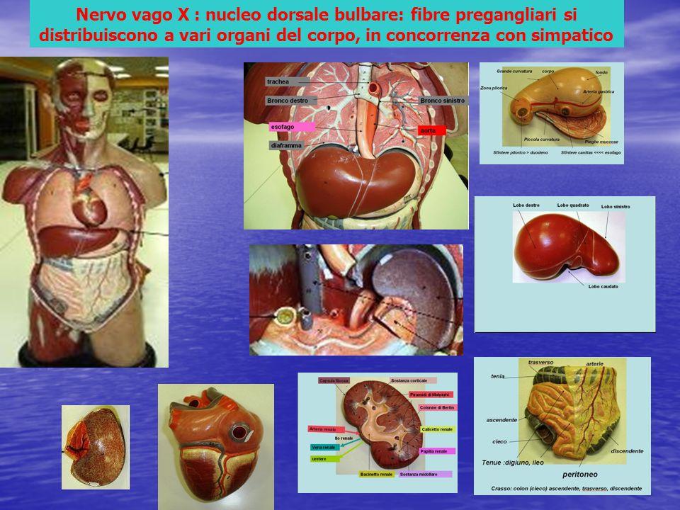 Nervo vago X : nucleo dorsale bulbare: fibre pregangliari si distribuiscono a vari organi del corpo, in concorrenza con simpatico