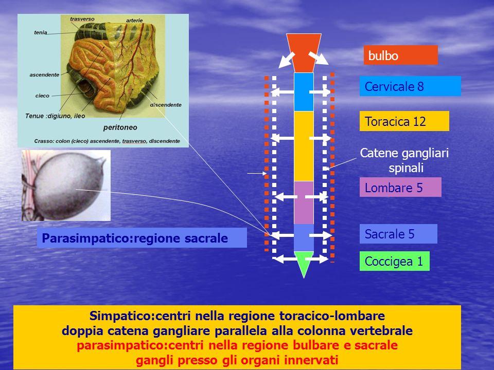 bulbo Cervicale 8 Toracica 12 Lombare 5 Sacrale 5 Coccigea 1 Simpatico:centri nella regione toracico-lombare doppia catena gangliare parallela alla co