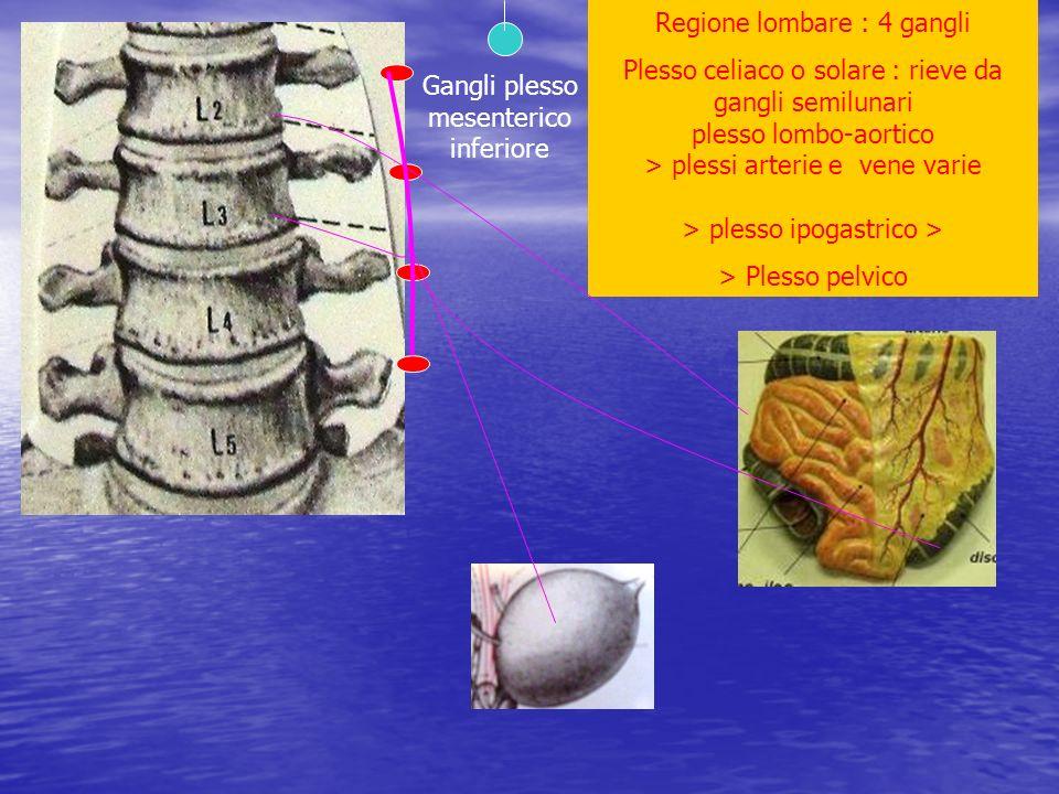 Regione lombare : 4 gangli Plesso celiaco o solare : rieve da gangli semilunari plesso lombo-aortico > plessi arterie e vene varie > plesso ipogastric