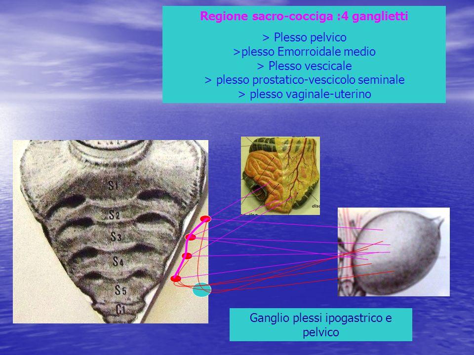 Regione sacro-cocciga :4 ganglietti > Plesso pelvico >plesso Emorroidale medio > Plesso vescicale > plesso prostatico-vescicolo seminale > plesso vagi