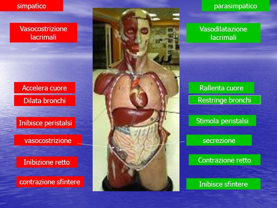 simpaticoparasimpatico Dilata bronchi Restringe bronchi Accelera cuoreRallenta cuore Inibisce peristalsi Stimola peristalsi vasocostrizionesecrezione