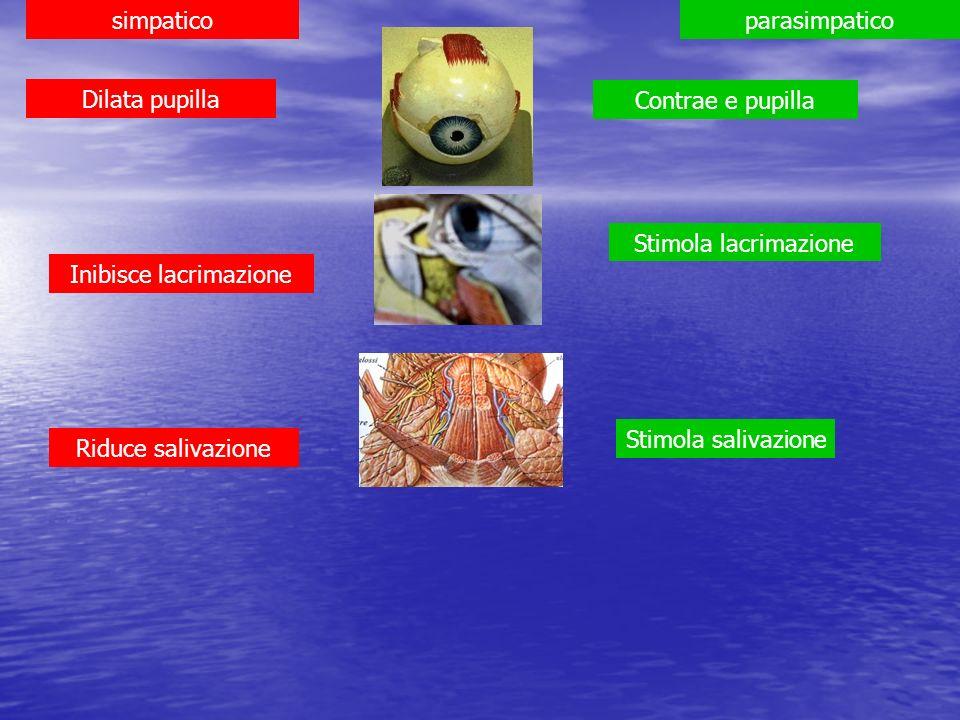 simpaticoparasimpatico Dilata pupilla Contrae e pupilla Stimola lacrimazione Stimola salivazione Inibisce lacrimazione Riduce salivazione