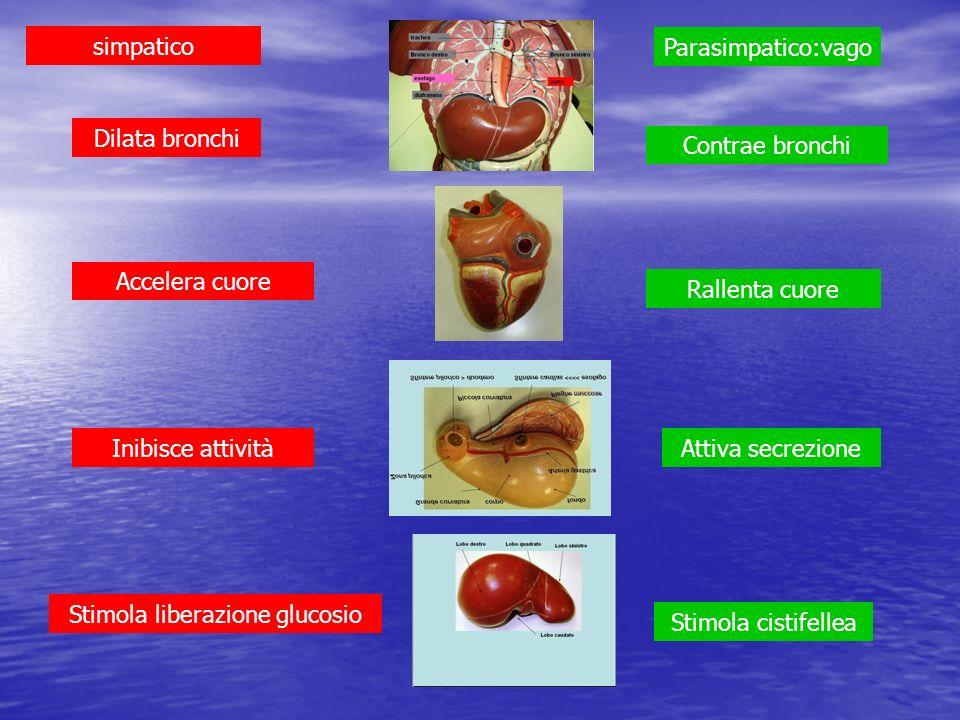 simpatico Parasimpatico:vago Dilata bronchi Accelera cuore Inibisce attività Stimola liberazione glucosio Contrae bronchi Rallenta cuore Attiva secrez