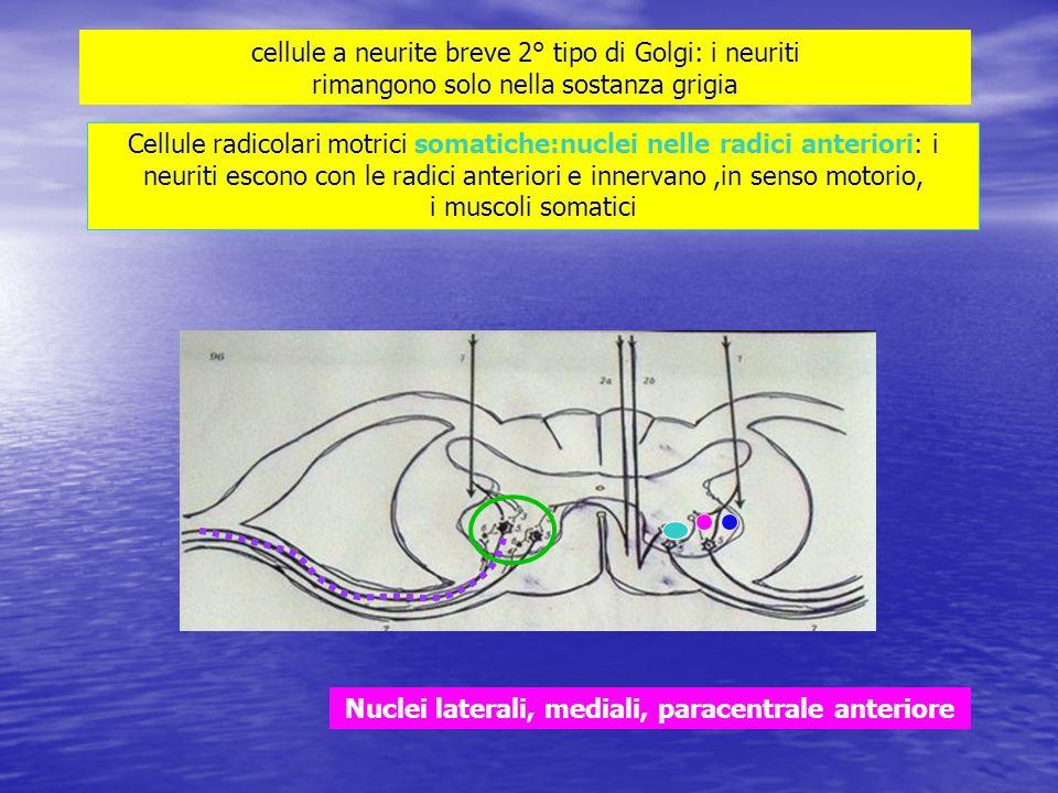 cellule a neurite breve 2° tipo di Golgi: i neuriti rimangono solo nella sostanza grigia Cellule radicolari motrici somatiche:nuclei nelle radici ante