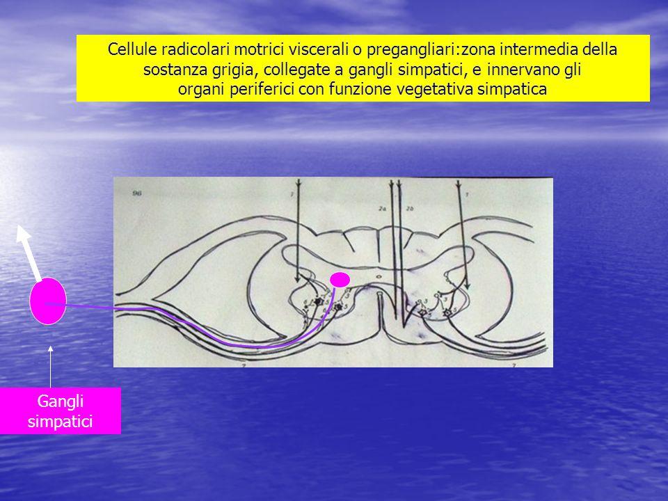 Cellule radicolari motrici viscerali o pregangliari:zona intermedia della sostanza grigia, collegate a gangli simpatici, e innervano gli organi perife