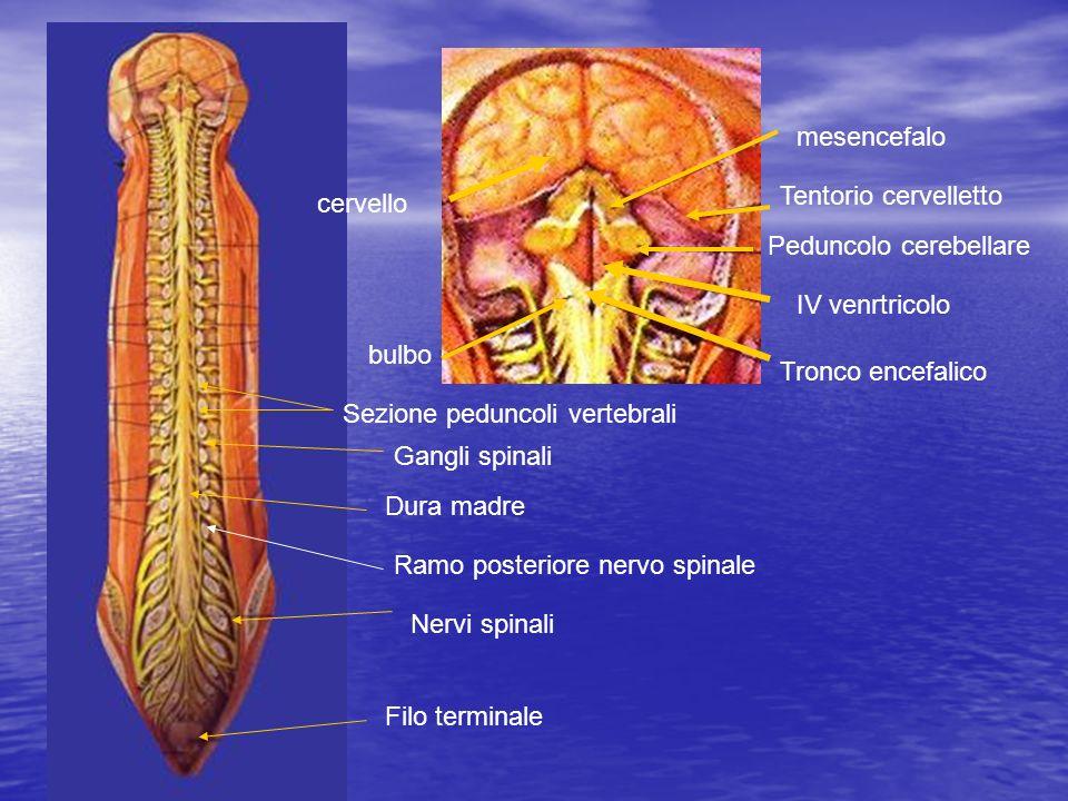 mesencefalo IV venrtricolo bulbo cervello Tronco encefalico Peduncolo cerebellare Tentorio cervelletto Filo terminale Dura madre Gangli spinali Nervi