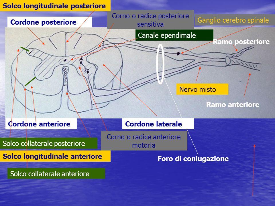 Cordone anteriore Cordone posteriore Cordone laterale Corno o radice anteriore motoria Corno o radice posteriore sensitiva Canale ependimale Solco lon