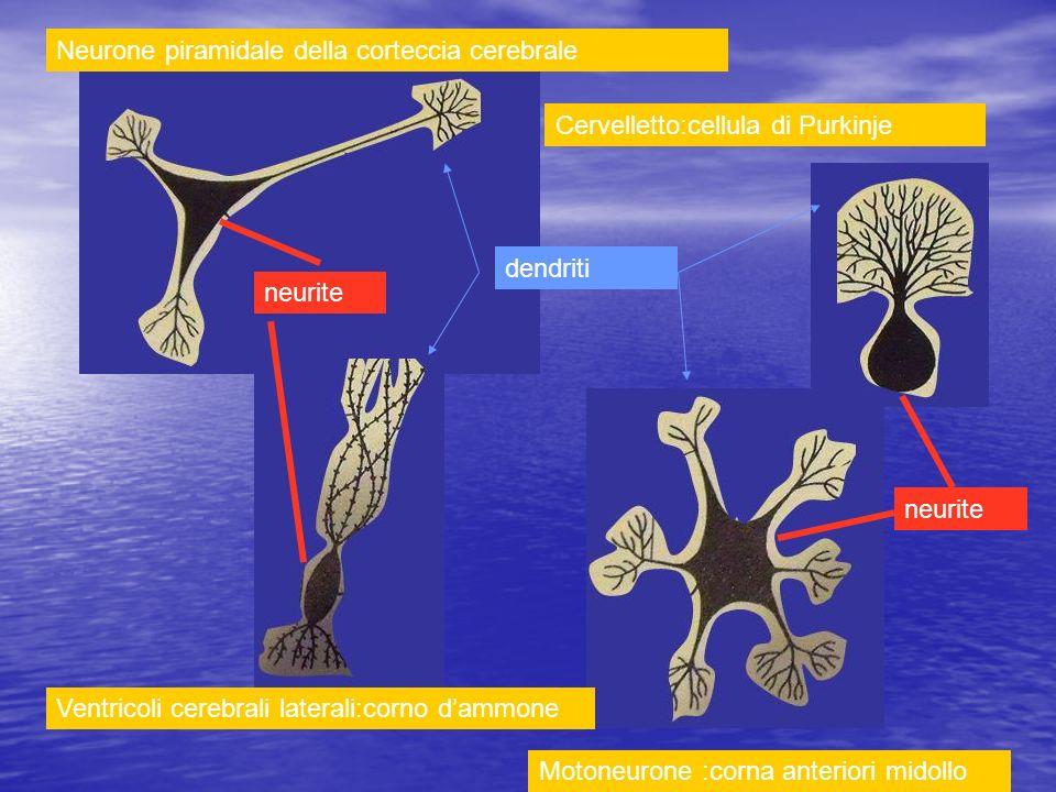 Neurone piramidale della corteccia cerebrale Cervelletto:cellula di Purkinje Motoneurone :corna anteriori midollo Ventricoli cerebrali laterali:corno
