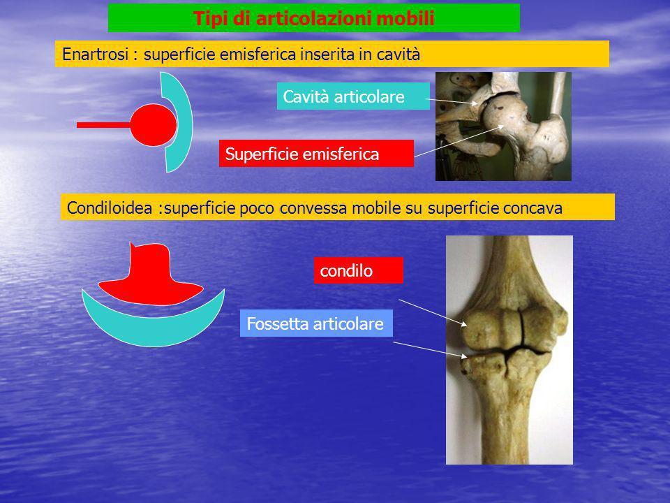Omero (testa) > scapola (cavità glenoidea) enartrosi Cavità glenoidea Testa