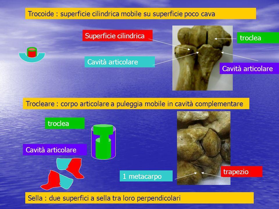 Omero (troclea) > ulna (olecrano-incisura sigmoidea) trocleare Omero (condilo) > radio (fossetta glenoidea) condiloidea trocleacondilo olecrano Fossetta glenoidea Incisura sigmoidea