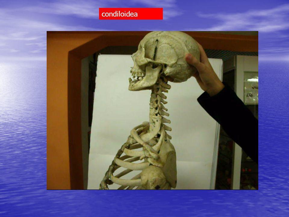 tibia (mortaio crurale) > astragalo (troclea) trocleare (superficie articolare + faccette malleoli) tibia > tarso due artrodie astragalo tibia Superficie articolare Malleolo fibulare