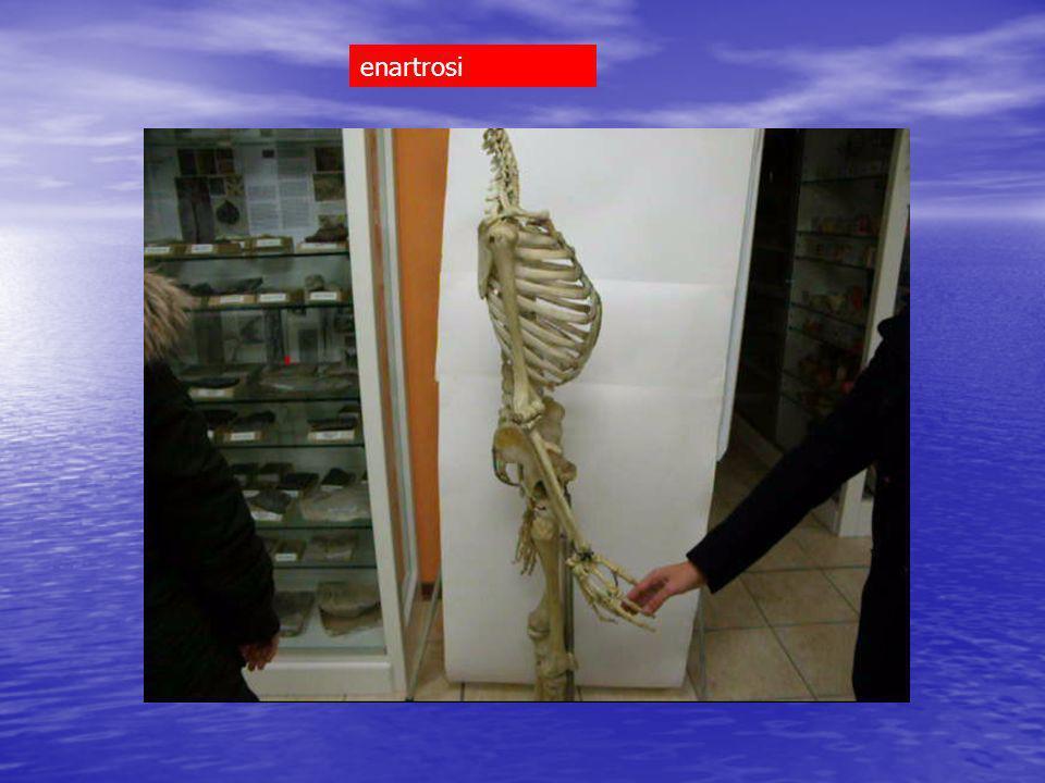 astragalo > calcagno artrodia astragalo > calcagno+ navicolare enartrosi calcagno > cuboide sella tarsali 2 fila interconnesse artrodie Tarsali 2 fila > metatarsali artrodie 2,3,4,5 metatarsali interconnesse artrodie metatarsali > falangi condiloidee Falangi interconnesse trocleari