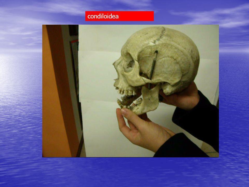 radio (cavità articolare) > carpo (tipo condilo:navicolare, piramidale, semilunare) condiloidea Cavità articolare Condilo carpale