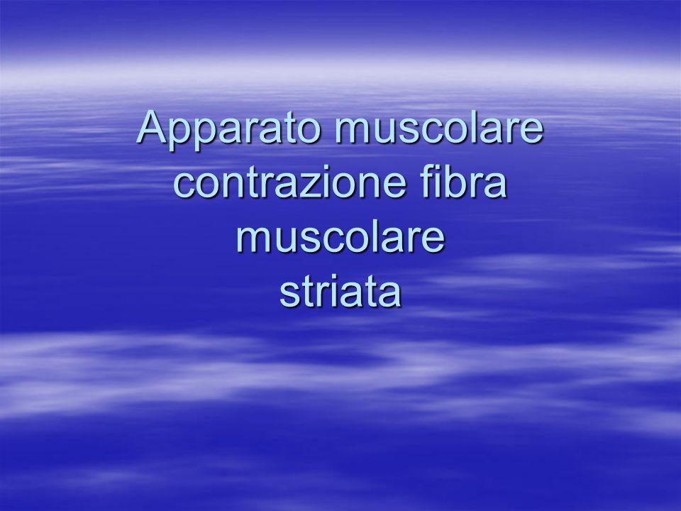 sarcomero e muscolo in contrazione