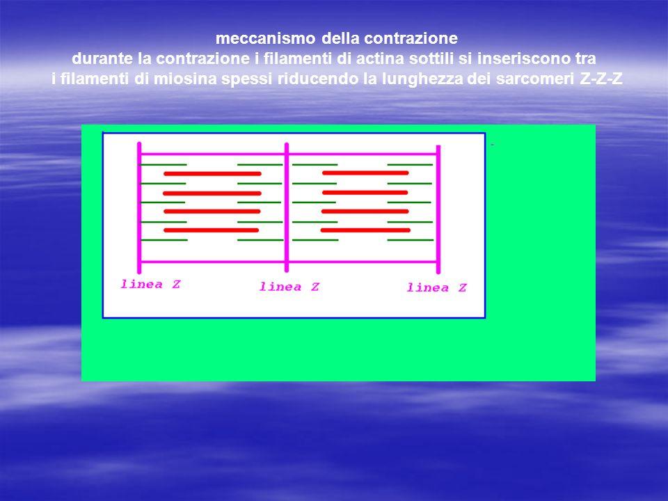 meccanismo della contrazione durante la contrazione i filamenti di actina sottili si inseriscono tra i filamenti di miosina spessi riducendo la lunghe