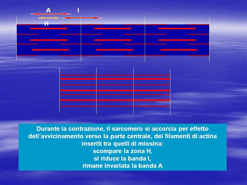 Durante la contrazione, il sarcomero si accorcia per effetto dellavvicinamento verso la parte centrale, dei filamenti di actina inseriti tra quelli di