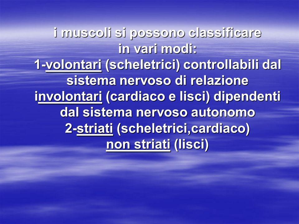 ogni cellula muscolare o fibra muscolare presenta: -una membrana plasmatica (sarcolemma) -un sistema reticolare,tubulare:sistema T collegato al sarcolemma -uno o più nuclei -citoplasma -miofibrille filamentose avvolte da reticolo sarcoplasmatico (con Ca++) ogni cellula muscolare o fibra muscolare presenta: -una membrana plasmatica (sarcolemma) -un sistema reticolare,tubulare:sistema T collegato al sarcolemma -uno o più nuclei -citoplasma -miofibrille filamentose avvolte da reticolo sarcoplasmatico (con Ca++)