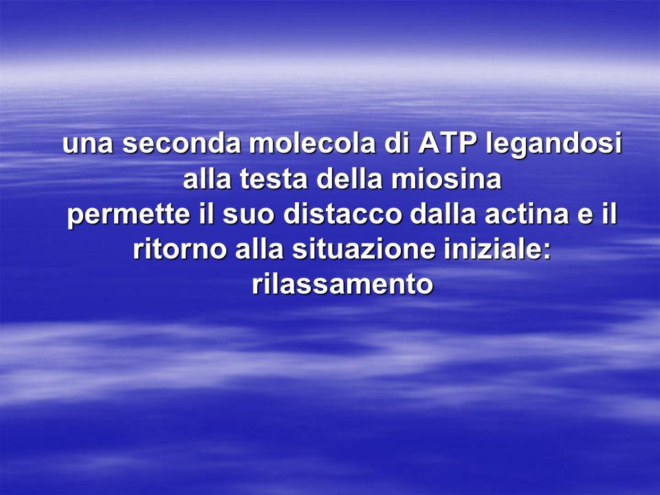 una seconda molecola di ATP legandosi alla testa della miosina permette il suo distacco dalla actina e il ritorno alla situazione iniziale: rilassamen