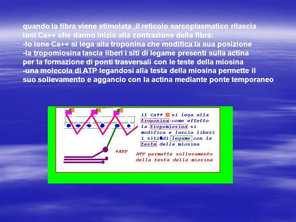 quando la fibra viene stimolata,il reticolo sarcoplasmatico rilascia ioni Ca++ che danno inizio alla contrazione della fibra: -lo ione Ca++ si lega al
