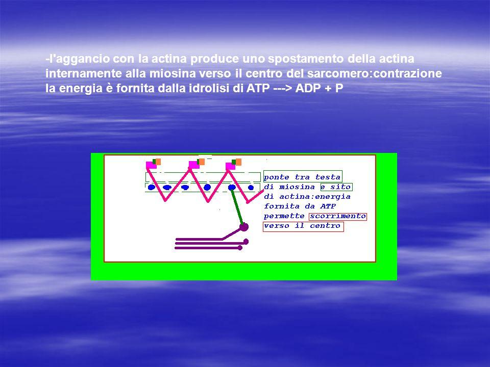 -l'aggancio con la actina produce uno spostamento della actina internamente alla miosina verso il centro del sarcomero:contrazione la energia è fornit
