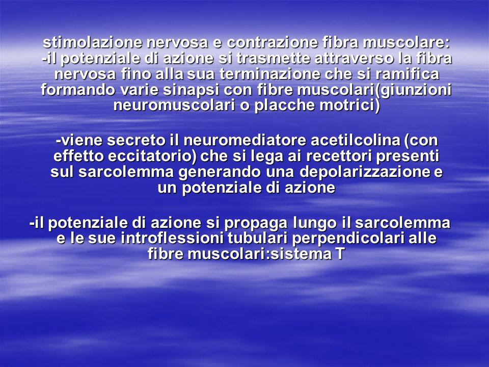 stimolazione nervosa e contrazione fibra muscolare: -il potenziale di azione si trasmette attraverso la fibra nervosa fino alla sua terminazione che s