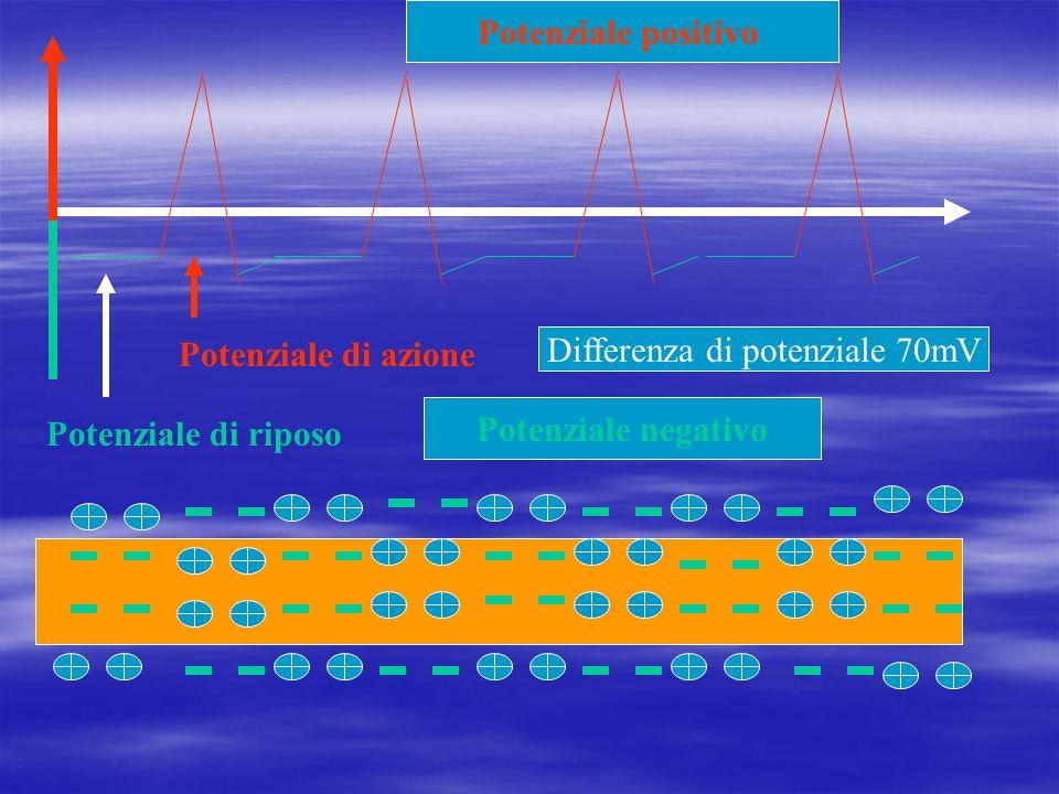 Potenziale di riposo Potenziale di azione Potenziale positivo Potenziale negativo Differenza di potenziale 70mV