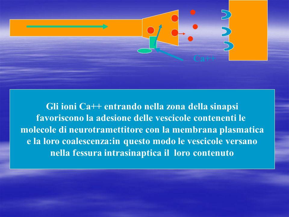 Gli ioni Ca++ entrando nella zona della sinapsi favoriscono la adesione delle vescicole contenenti le molecole di neurotramettitore con la membrana pl