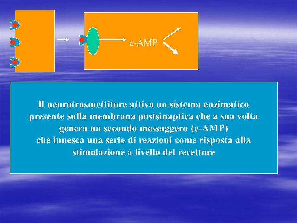 Il neurotrasmettitore attiva un sistema enzimatico presente sulla membrana postsinaptica che a sua volta genera un secondo messaggero (c-AMP) che inne