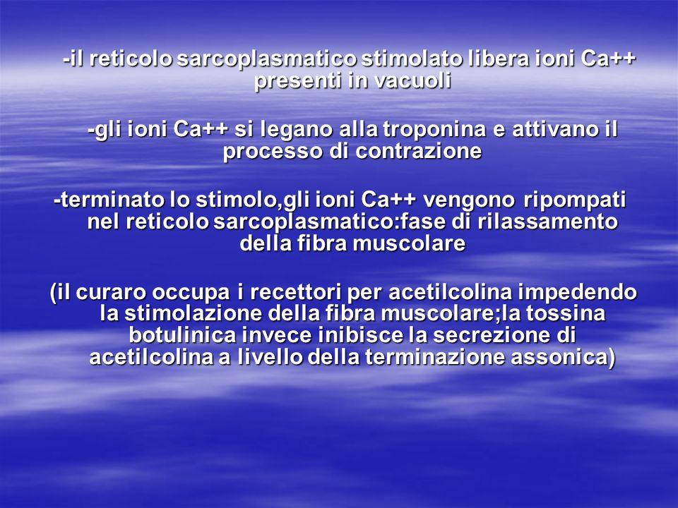 -il reticolo sarcoplasmatico stimolato libera ioni Ca++ presenti in vacuoli -il reticolo sarcoplasmatico stimolato libera ioni Ca++ presenti in vacuol