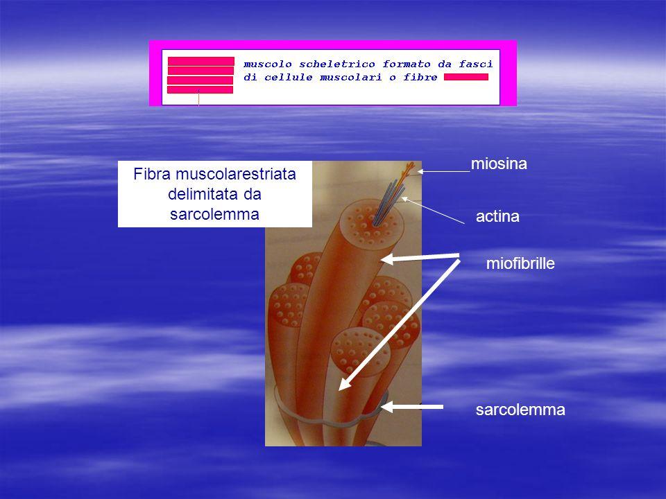 miofibrille miosina actina sarcolemma Fibra muscolarestriata delimitata da sarcolemma