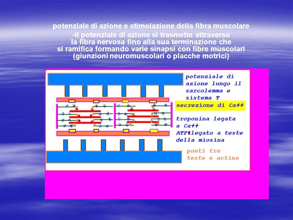 potenziale di azione e stimolazione della fibra muscolare -il potenziale di azione si trasmette attraverso la fibra nervosa fino alla sua terminazione