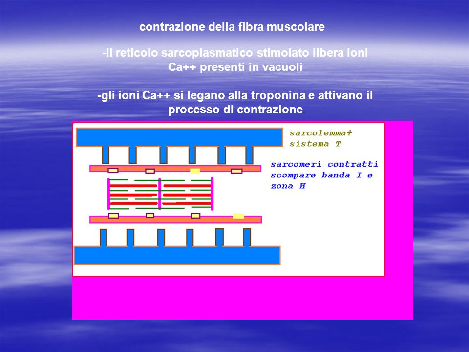 contrazione della fibra muscolare -il reticolo sarcoplasmatico stimolato libera ioni Ca++ presenti in vacuoli -gli ioni Ca++ si legano alla troponina