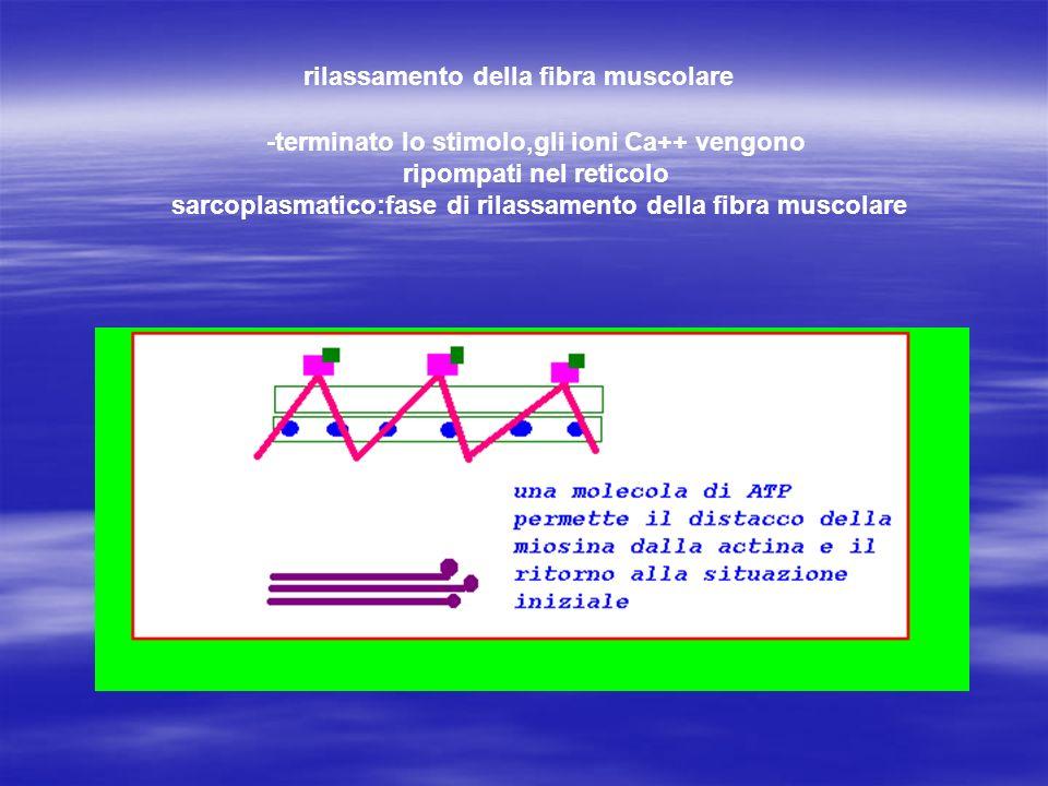 rilassamento della fibra muscolare -terminato lo stimolo,gli ioni Ca++ vengono ripompati nel reticolo sarcoplasmatico:fase di rilassamento della fibra