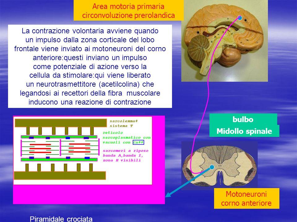 Midollo spinale bulbo Area motoria primaria circonvoluzione prerolandica Motoneuroni corno anteriore La contrazione volontaria avviene quando un impul